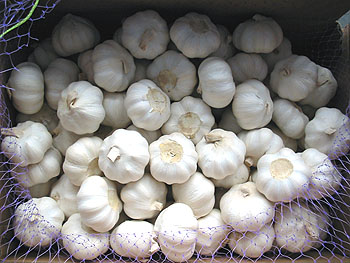 Garlic - Garlic is  grown in Cameroon Africa