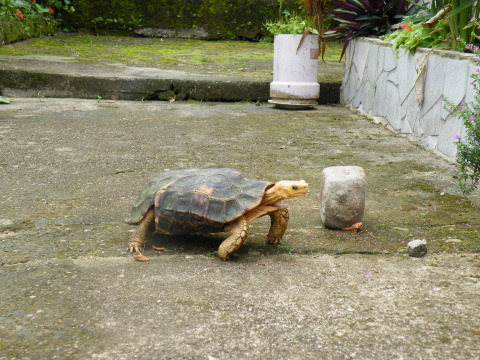 Tortoise, Douala, Cameroon, West Africa